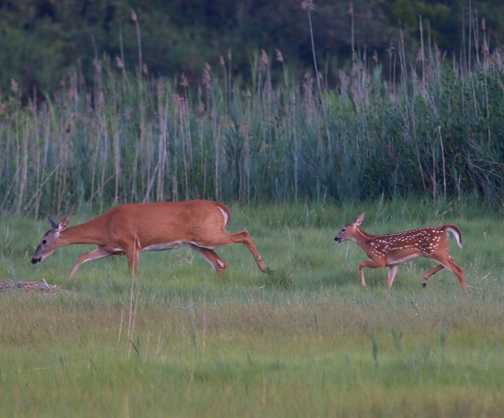 Doe & Fawn at Hammonasset State Park Madison, CT