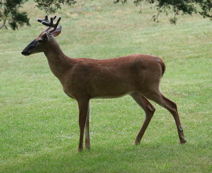 A Buck in my front yard