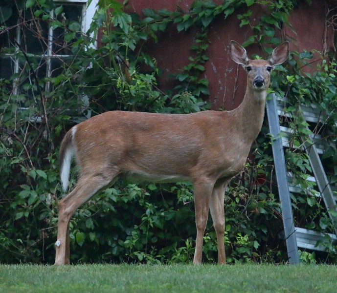 Doe in my backyard