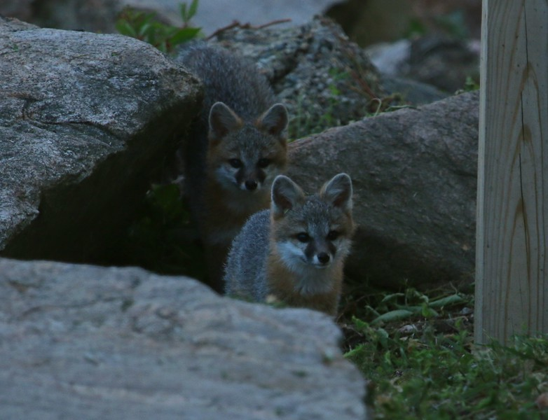 Gray Fox cubs at Shell Beach Guilford, CT