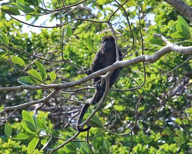 Howler Monkeys - Lake Gatun, Panama Canal.