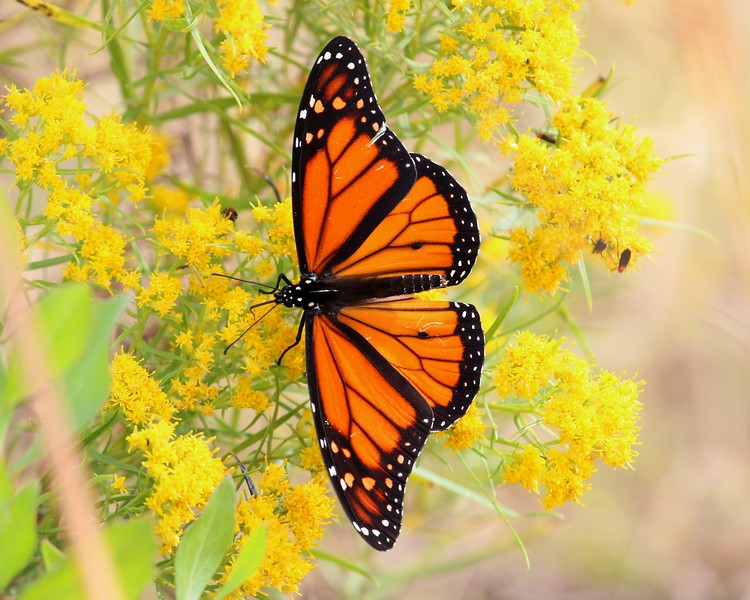 Monarch Butterfly - Salt Meadow Park