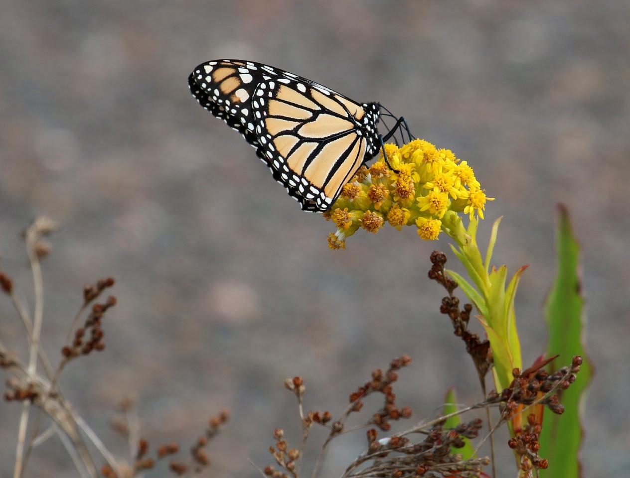 Monarch Butterfly - Salt Meadow Park