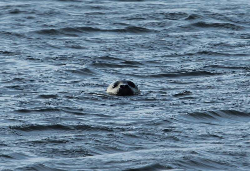 Seal at East River Boat Launch