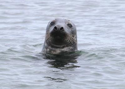 Seals at Block Island (New Shoreham, RI)