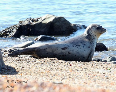 Seals at Hammonasset State Park