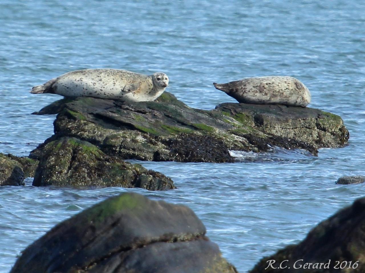 Seals at Meigs Point 2-6-16