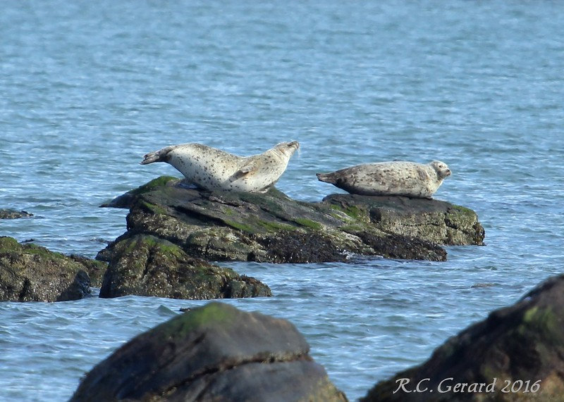 Seals at Meigs Point 2-6-16
