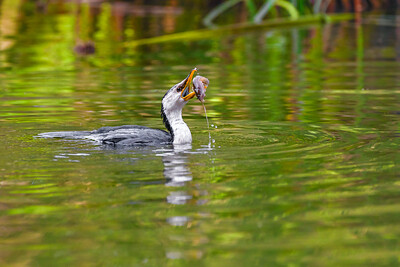 Little Pied Cormorant Tosses a Yabby in it's Beak