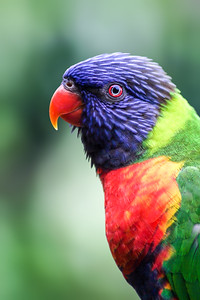 Portrait of a Rainbow Lorikeet Against a Background of Green Foliage