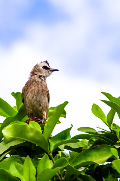 Yellow Vented Bulbul in Cambodia