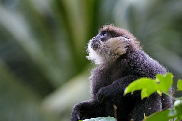A Young Purple Faced Langur (Trachypithecus vetulus) in the Canopy of Sinharaja Forest Reserve of Sri Lanka