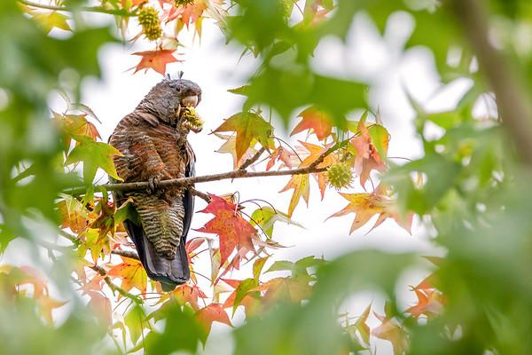 Female Gang-gang Cockatoo Feeding in a Sweet Gum Tree
