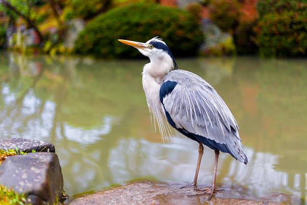 A Grey Heron (Ardea cinerea) Stands Besides a Pond in Kyoto, Japan Hunting for Small Fish