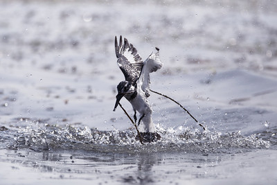 Pied Kingfisher Caught in River Weed