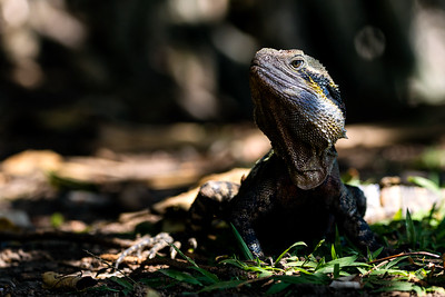 Large Eastern Water Dragon Among Leaflitter and Grass Near Rainbow Bay in Queensland, Australia