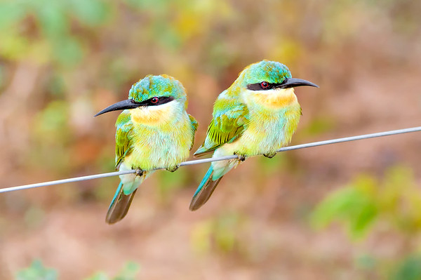 Pair of Blue Tailed Bee Eaters (Merops philippinus) Sitting on a Wire in Sri Lanka