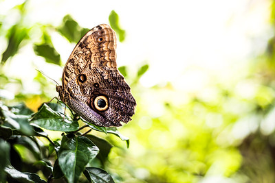 A Giant Owl Butterfly (Caligo memnon) Sits Motionless on a Leaf