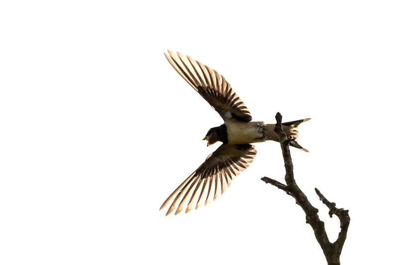 Barn Swallow Taking Flight and Silhouetted Against a White Sky