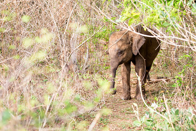 Baby Sri Lankan Elephant in the Undergrowth of Udawalawe National Park in Sri Lanka