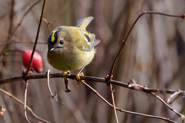 Plump Goldcrest (Regulus regulus) Perched in a Rosebush