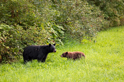 Black Bear Mother and Her Small Cub in Pemberton, British Columbia