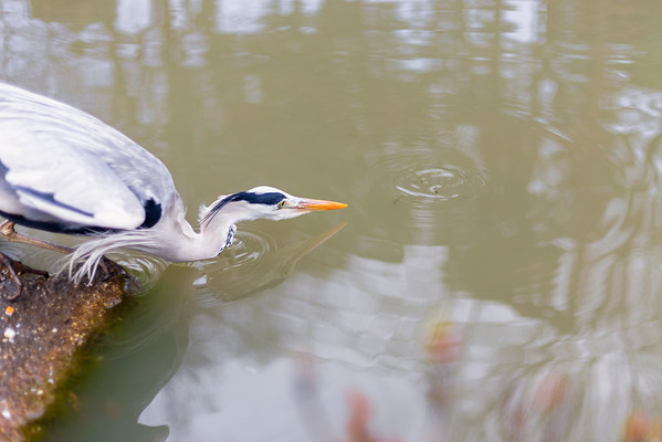 An Adult Grey Heron Moments from Taking Small Fish from a Pond in Japan