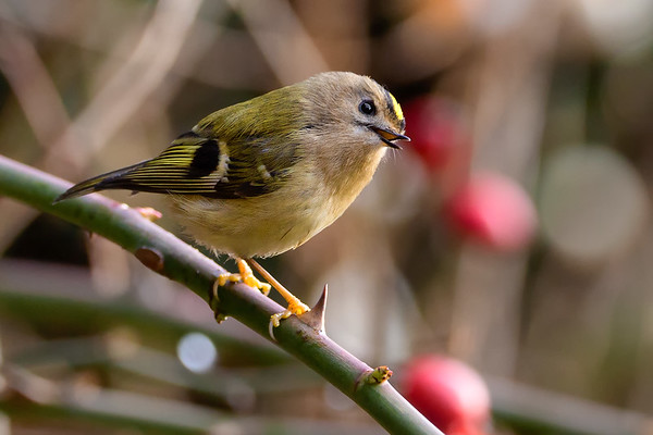 Goldcrest (Regulus regulus) in a Rose Bush with an Inquisitive Glance