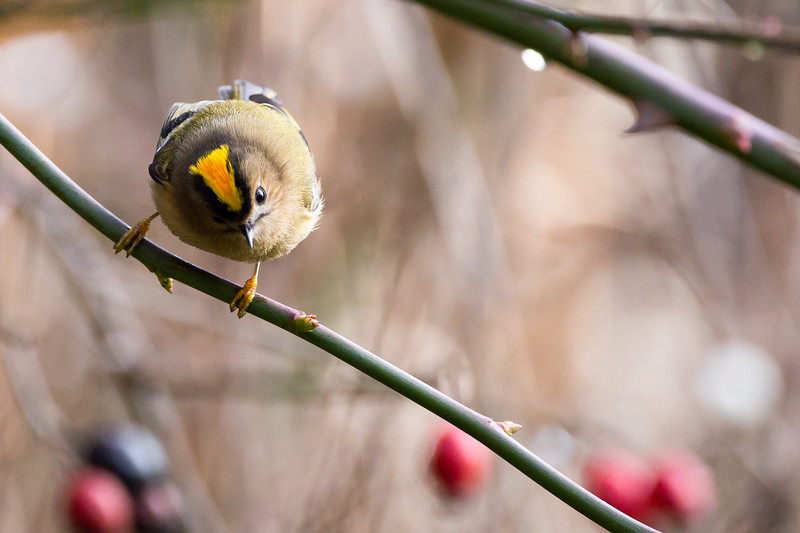 Goldcrest (Regulus regulus) Showing it's Impressive Golden Crest