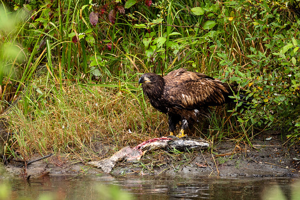 Adult Golden Eagle (Aquila chrysaetos) Feeding on a Large Salmon on a River Bank in Canada