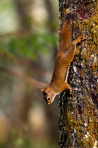 American Red Squirrel Climbing Down a Pine Tree in Alaska, United States