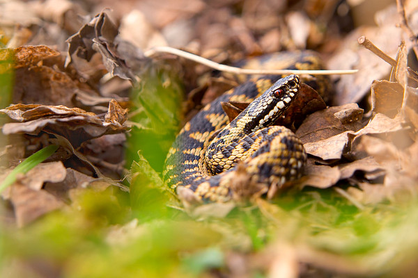 European Adder Coiled and Camouflaged in Woodland Leaflitter
