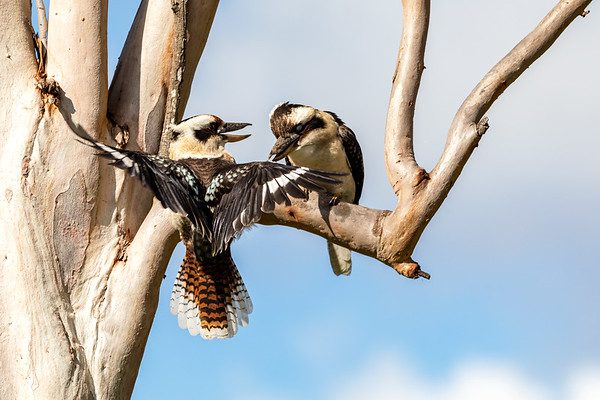 Laughing Kookaburra's in a Eucalyptus Tree