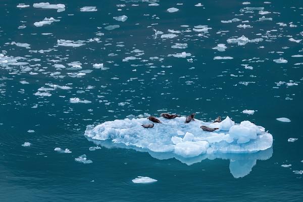 Harbor Seals on an Iceberg in Alaska