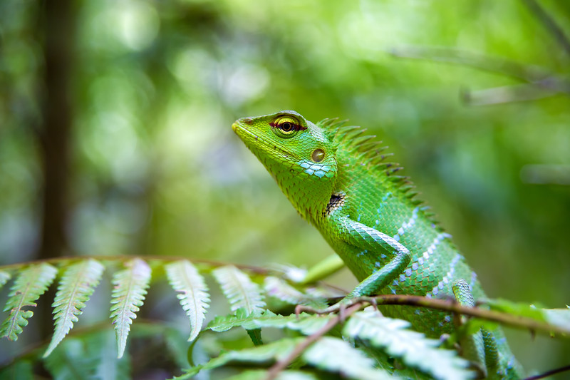 Green Forest Lizard on a Fern Leaf in Sri Lanka