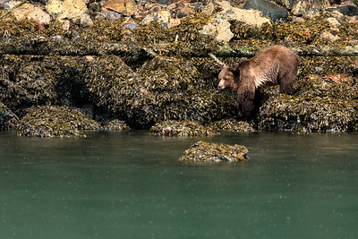 Sub Adult Female Grizzly Bear (Ursus arctos) Foraging for Food in Canada