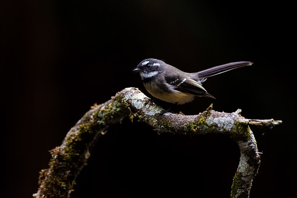 Grey Fantail Pauses on a Branch Before Pursuing Insects in Flight