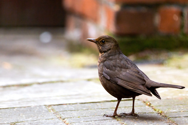 A Female Eurasian Blackbird Foraging for Food on a Sidewalk