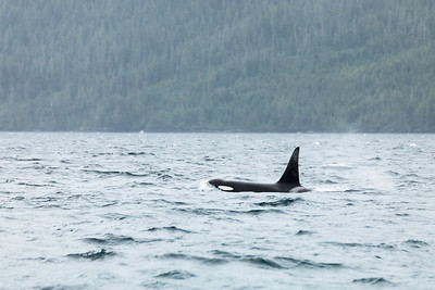 Large Orca (Orcinus orca) Swimming in the Knight Inlet, Canada