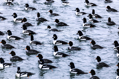 A Flock of Barrow's Goldeneye Ducks off the Shore of Stanley Park, Vancouver