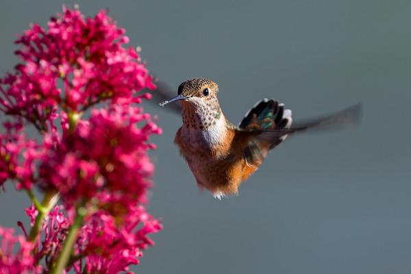 Female Rufous Hummingbird Feeding Mid-Flight in British Columbia