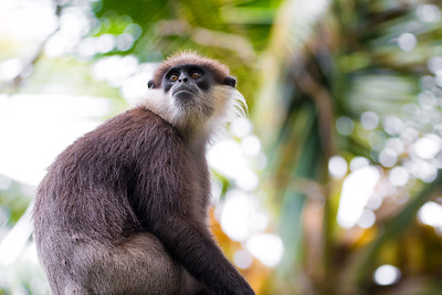 A Critically Endangered Purple Faced Langur (Trachypithecus vetulus) Endemic to Sri Lanka