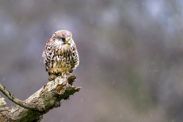 Female Kestrel (Falco tinnunculus) Perched on a Broken Branch in the Rain