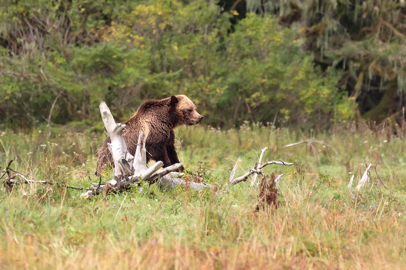 Adult Female Grizzly Bear (Ursus arctos) in the Forests of Northern Canada