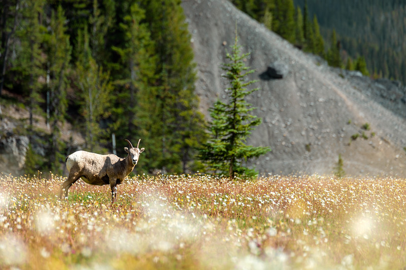 Rocky Mountain Bighorn Sheep (Ovis canadensis) Standing in a Meadow in Jasper National Park, Canada