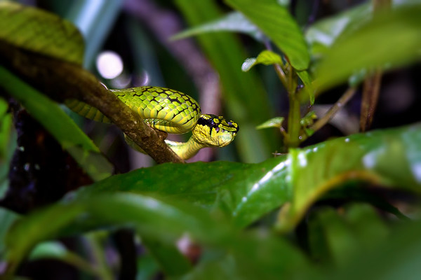 Sri Lankan Green Pit Viper (Trimeresurus trigonocephalus) Coiled in the Branches of a Tree