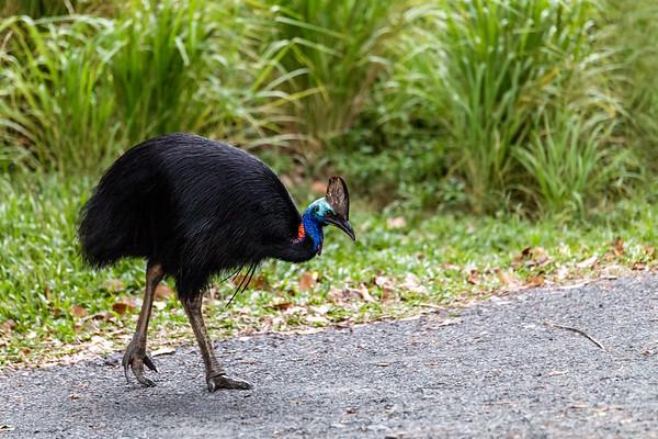 Adult Male Cassowary Crossing a Quiet Road in Northern Queensland, Australia