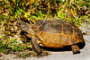Gopher Tortoise on Merritt Island National Wildlife Refuge