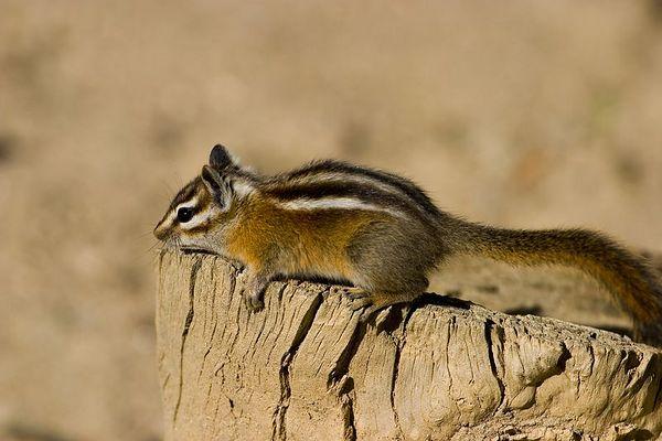 Chipmunk - taking a rest