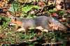 A gray fox in the Talladega National Forest in northeast Alabama